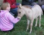 mule miniature babygold