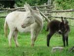 Anesse ivoire et sa fille brune