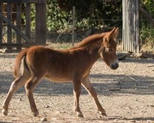 mule miniature